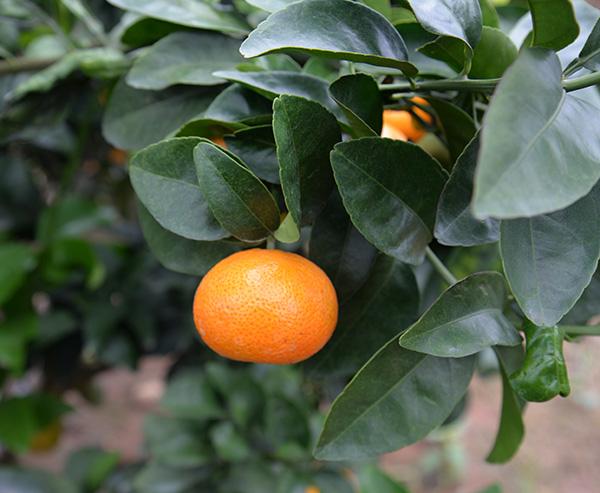 金秋砂糖橘1