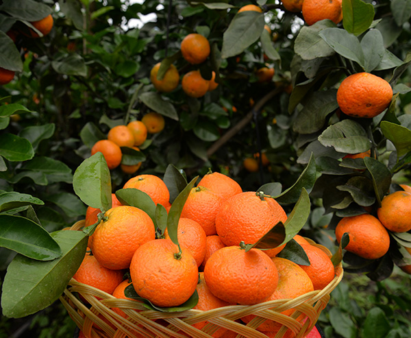 金秋砂糖橘5