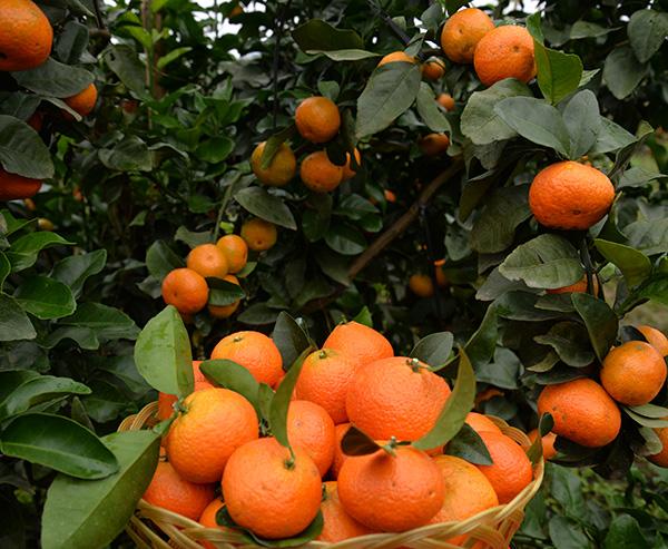 金秋砂糖橘6
