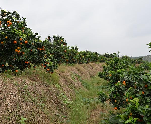 金秋砂糖橘2