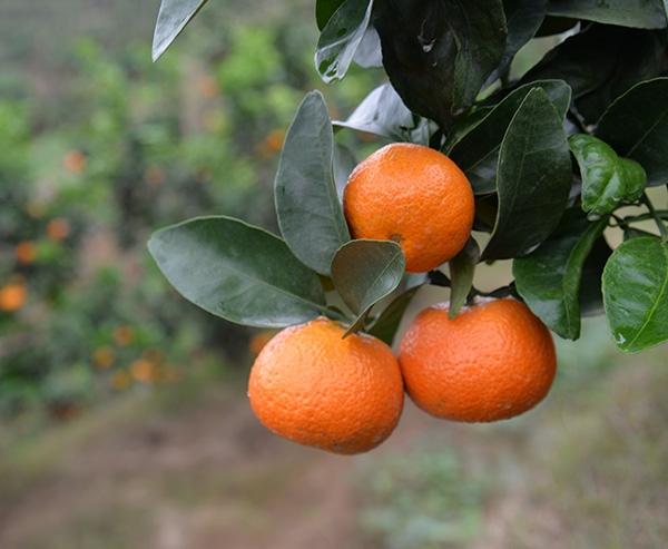 金秋砂糖橘3