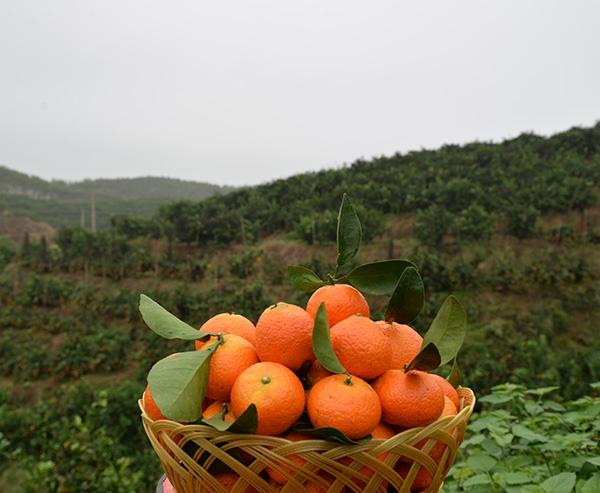金秋砂糖橘7