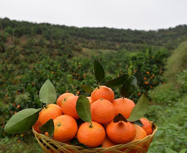 金秋砂糖橘8