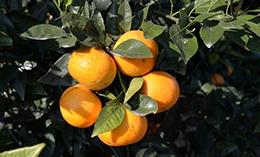 广西沃柑应该如何种植