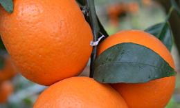 沃柑和砂糖桔的区别