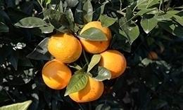沃柑是橘子还是橙子